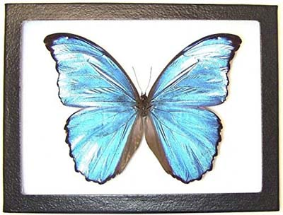 Blue Morpho Butterfly Display