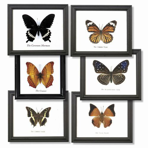 Assorted Single Butterfly Display