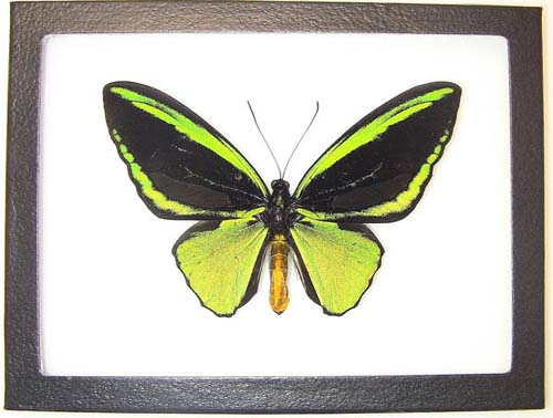 The Emerald Green Birdwing