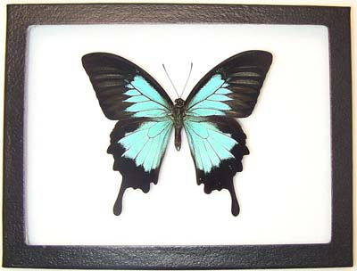 Blue Metallic Giant Swallowtail Butterfly