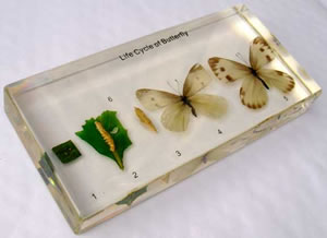 Real Butterfly Life Cycle Display