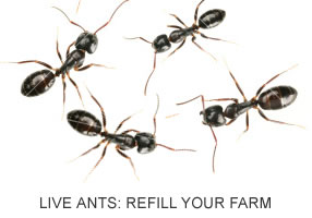LIVE Ants – Refill Your Ant Farm SHIPPED WITH LIVE ANTS