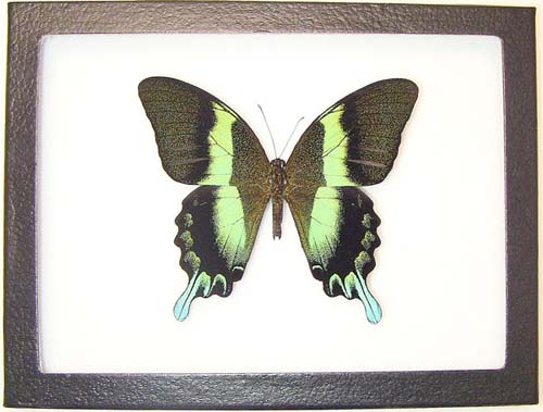 Green Metallic Giant Swallowtail Butterfly