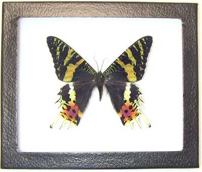 Sunset Moth Framed