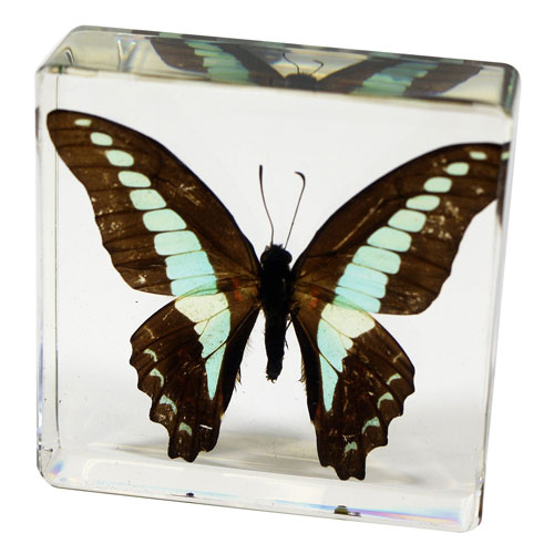 Real Blue Jay Butterfly Paperweight