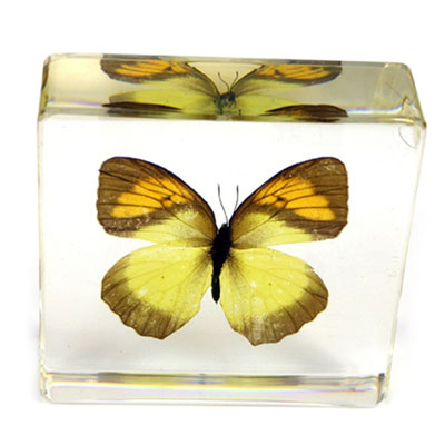 Real Orange Tipped Butterfly Paperweight