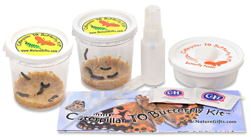 REFILL ONLY for Painted Lady Butterfly Kit