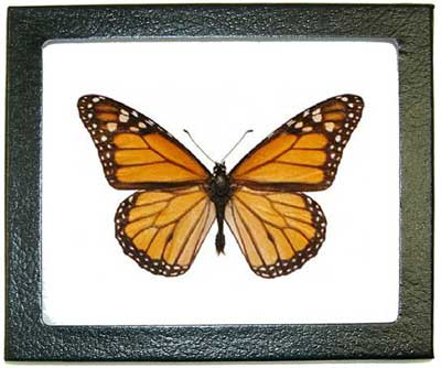 The Famous Monarch Butterfly