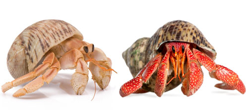 Hermit Crab Only