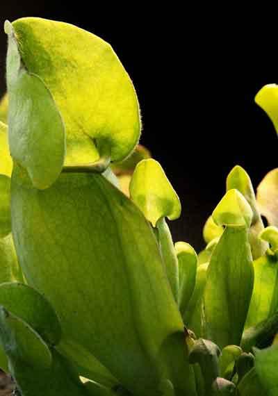 LIVE Carnivorous Plant Terrarium
