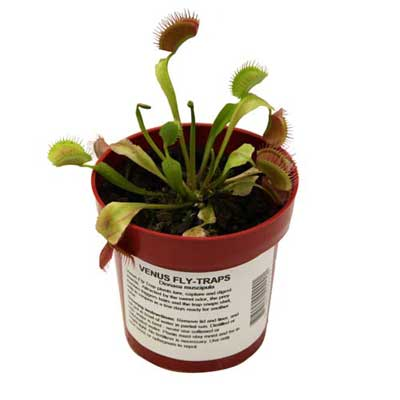 LIVE Adult Venus Fly Trap