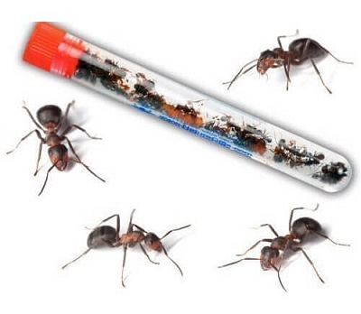 2-tubes-of-25-harvester-ants-each-1-300×233